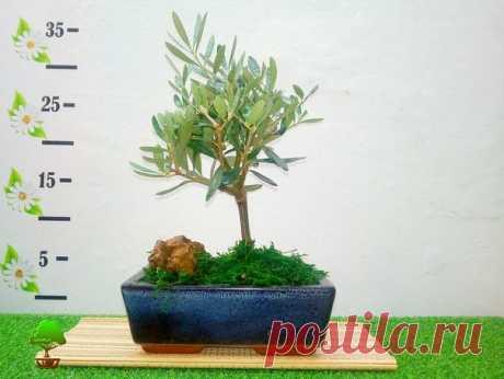 Оливковое дерево Возраст 4 года Высота 30 см Кашпо керамика Не требует пересадки. даю полную консультацию по уходу. Бесплатная подарочная упаковка Цена указана в альбоме ,,Товары,,