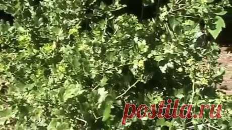 Обработка крыжовника йодом от мучнистой росы