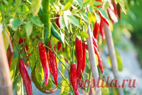 6 сортов жгучего перца, которые отлично растут дома | Огород на подоконнике | Яндекс Дзен