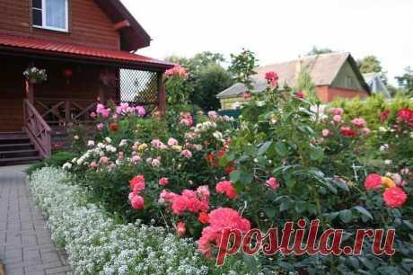 Почему стоит обрезать розы во время цветения — Садоводка