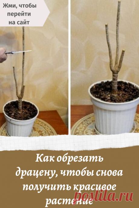 Как обрезать драцену, чтобы снова получить красивое растение