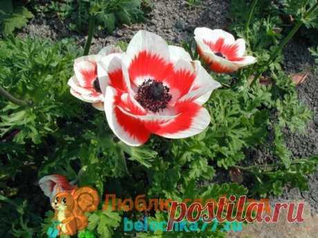 Первоцветы с фото и названиями – многолетники, цветущие ранней весной