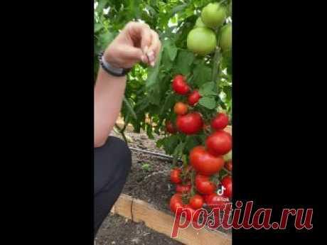 томат мамонтенок