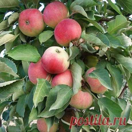 Как размножить яблоню: самые лучшие и перспективные способы размножения