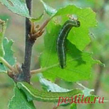 Вредители яблони и борьба с ними, уход весной + фото - Дачная помощь