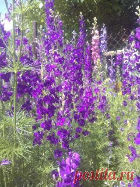 Декоративное однолетнее растение, имеющее высоту от 30 см до 1 м. Высокий куст-красавец, который удачно смотрится и среди овощных грядок, и среди других цветов! Сорт аякса (фиолетовый )отцветает к середине лета.