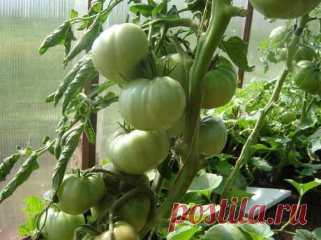 Почему не завязываются томаты?