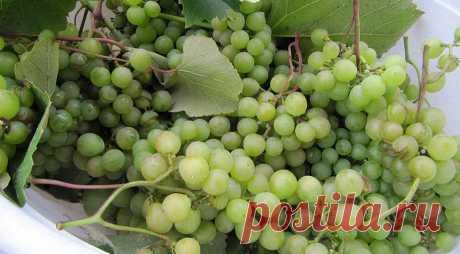 Все секреты выращивания винограда в Подмосковье и в северных регионах России от виноградаря Николая Сидорцова