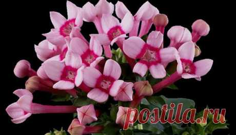 Цветок Бувардия: выращивание в домашних условиях