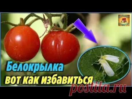 Забудьте о БЕЛОКРЫЛКЕ на своём участке. Методы борьбы от белокрылки на помидорах. Дачные советы - YouTube