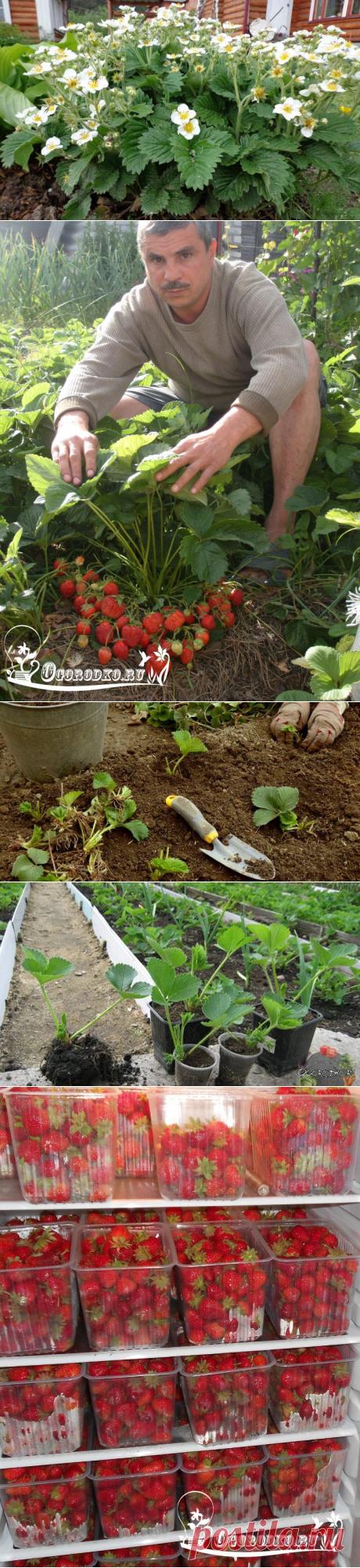 Выращивание ремонтантной клубники - пошаговая инструкция, посадка,уход