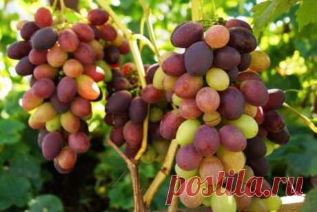 Что делать с виноградом в августе: подкормка, обрезка (чеканка), обработка от болезней, полив