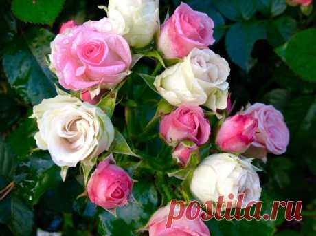 Лучшие сорта розы-спрей для дачного участка