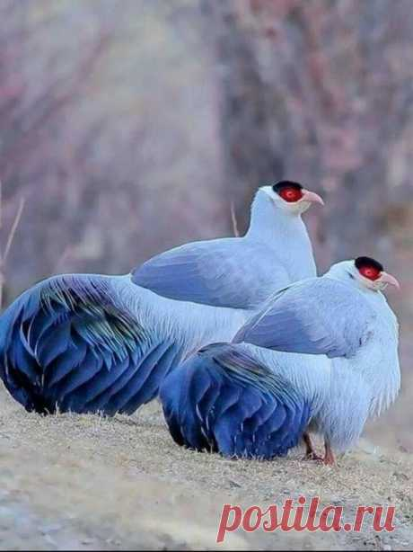 ТАК ВОТ КАК ВЫГЛЯДЕЛА СИНЯЯ ПТИЦА Матерлинка!  Синие фазаны - бесподобные красавцы!