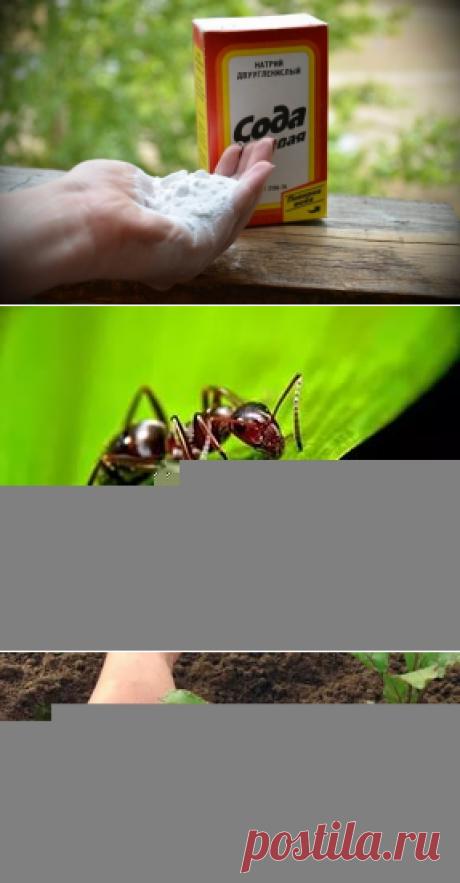 сода огороднику в помощь — 6 соток