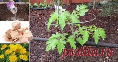 Народные средства для подкормки помидоров – самые лучшие рецепты Не знаете, чем подкормить помидоры в теплице и открытом грунте? Мы подскажем!