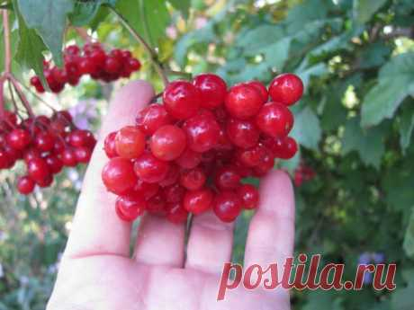 Guelder-rose red — properties and contraindications