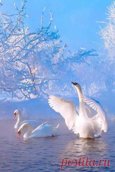 Обои Красивое зимнее утро, озеро, деревья, снег, белые лебеди 640x960 iPhone 4/4S Изображение