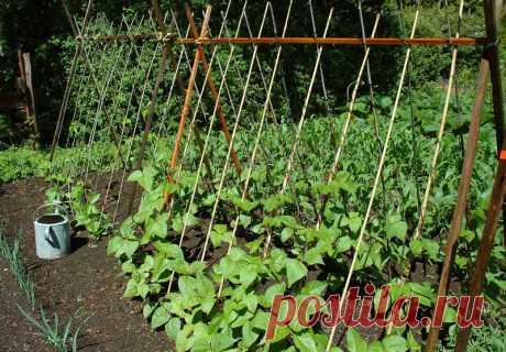 Все нюансы выращивания спаржевой фасоли, которые обязательно нужно учитывать при посеве данной культуры на огороде.