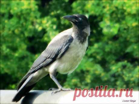 Серый воронёнок