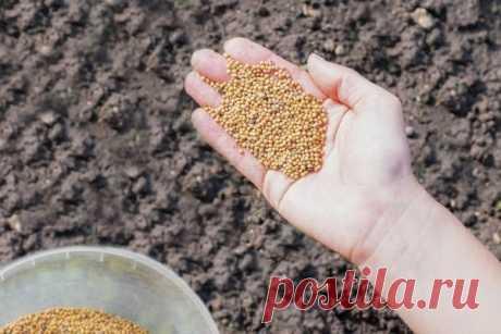 Как сеять горчицу: подготовка семян и почвы, правила посева Узнайте, зачем выращивают горчицу на дачных участка и полях. Ознакомьтесь со спецификой посева в разные сезоны, особенностями подготовки семян и самой почвы под посев. Выберите подходящую технику посева из приведённых в статье.