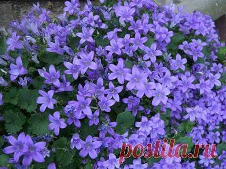 Комнатный колокольчик - нежное растение для дома