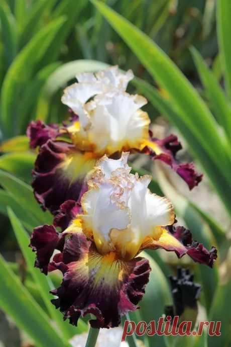 Iris 'Superhero' Ирисы Экзотические цветы, Ирисы и Красивые цветы в Яндекс.Коллекциях