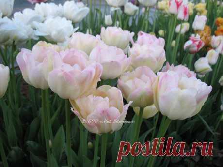 Tulip_Creme_Upstar_1.jpg (Изображение JPEG, 1024×768 пикселов) - Масштабированное (90%)