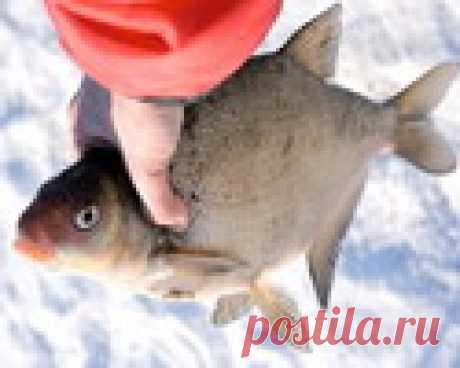 Зимняя рыбалка. Лещ с максимальной глубины    Зимняя рыбалка - Тактика и техника зимней рыбалки    Как только становится первый лед, и по водоемам можно без опаски передвигаться, самое время попытать счастья в очень интересной и увлекательной …