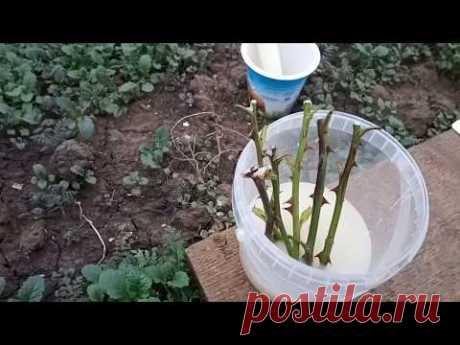 🌹Осеннее черенкование роз в открытом грунте. Очень простой способ.