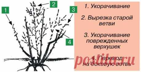 Как обрезать смородину, малину, крыжовник, жимолость