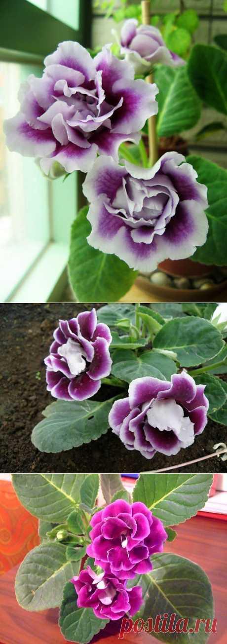 Ботаничка.ru | Глоксиния. Уход, выращивание, размножение. Декоративно-цветущие. Комнатные растения. Цветы. Фото.