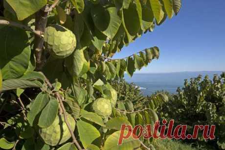 Аннона Черимойя–дерево мороженого - Садоводка