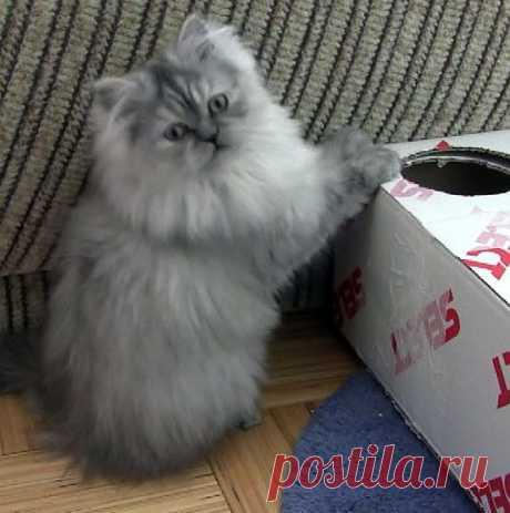 Бася.Персидская кошка 4 года.