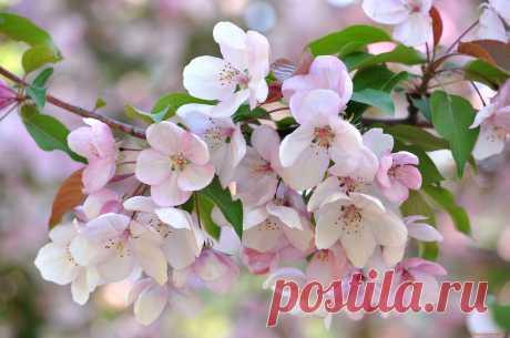 Обои Цветы Цветущие деревья / кустарники, обои для рабочего стола, фотографии цветы, цветущие деревья , кустарники, весна Обои для рабочего стола, скачать обои картинки заставки на рабочий стол.