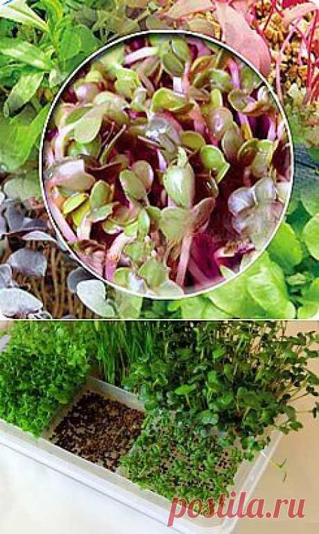 Пробуем новинку: микрозелень!: Здоровое питание - diets.ru