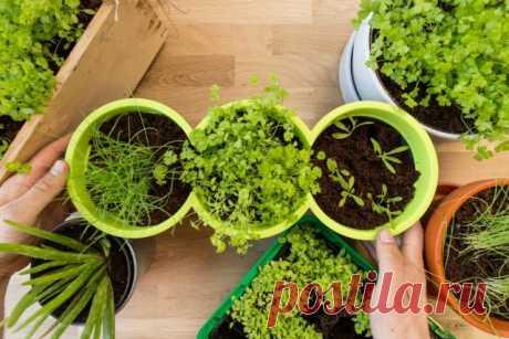 Огород на подоконнике — мифы и реальность - Огород, сад, балкон - медиаплатформа МирТесен