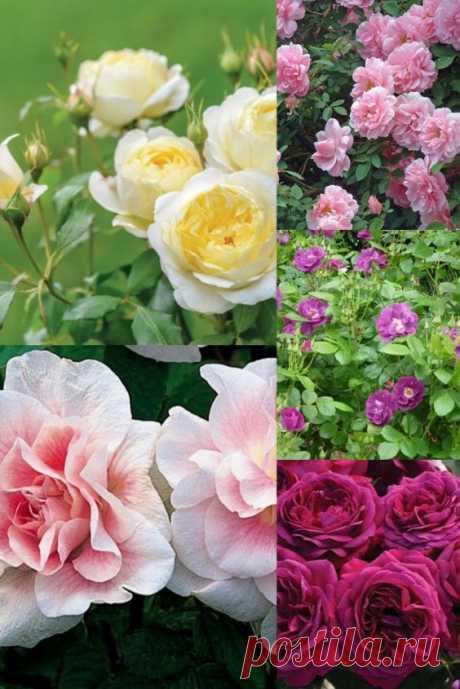 Розы для начинающих садоводов: 10 популярных сортов