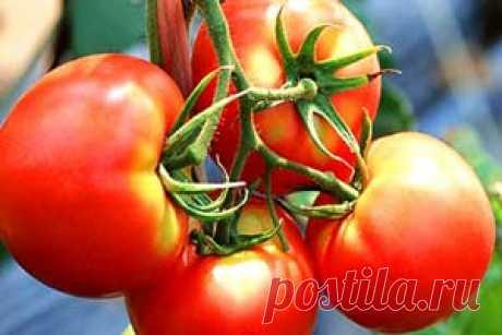 """Томат """"Бетта"""": описание сорта, особенности выращивания, применение, фото помидоров"""