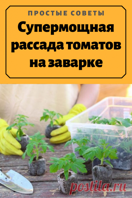 Супермощная рассада томатов на заварке — Простые советы