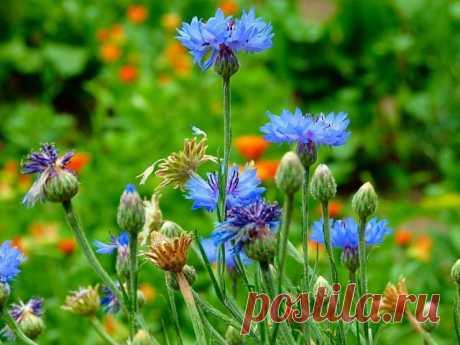 Выращивание васильков: посадка и уход, сорта. Наверняка многие знакомы с этим, казалось бы, незатейливым  полевым красавцем. На первый взгляд он, может, и простой, однако не лишён своих особенностей. Чаще всего эти красивые голубые цветочки мы встречаем на лугах и в полях. Мало кто задумывается, что они имеют многовековую историю, что их полезные свойства и другие примечательные особенности изучали еще в Древней Греци