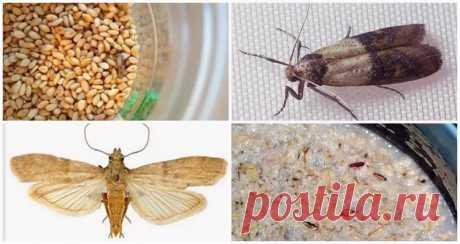 Пищевая моль: виды, причины появления, способы уничтожения