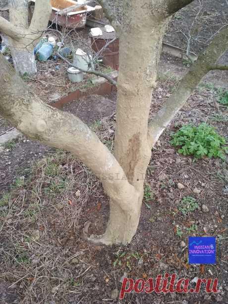 Смешал железный купорос, воду, золу и глину, добавил подсолнечного масла - и обработал деревья в саду   RUSSIAN INNOVATION   Яндекс Дзен