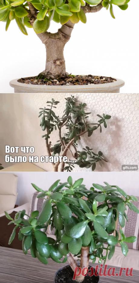 Как я вырастила Бонсай из денежного дерева - результат Моего эксперемента | Садовый рай 🌱 | Яндекс Дзен