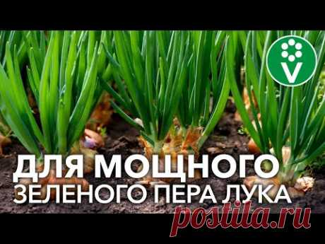 ХОТИТЕ МНОГО ЗЕЛЕНОГО ЛУКА? 7 приемов для мощного и вкусного пера лука
