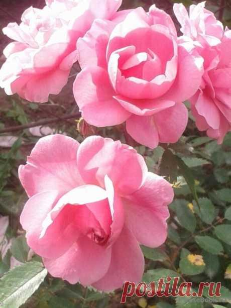 Розы: неубиваемые сорта - мой опыт | Дом с огородом в пригороде | Яндекс Дзен Сегодня, рассказажу о своих любимых сортах роз, которые выдержали всё!