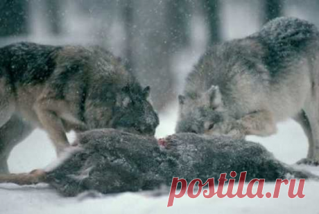 Любопытные факты о волках