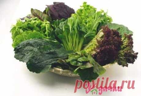 Виды листовых и кочанных салатов|У дачки