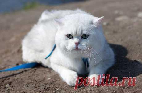 Британский Кот шиншиллового окраса