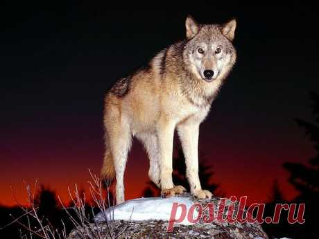 Красивый волк  2352, , basik.ru